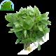 Basilic Rau Que Thailande 100g- FRAIS