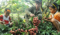 Vietnamese lychees now available for sale in France