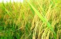 Gạo Thơm nàng Hương Chợ Đào Thượng hạng Sạch An Toàn